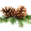 Stock Photo: Two pine cones with branch.