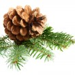 Stock Photo: One pine cone with branch.