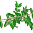 A leaf branch — Stock Photo