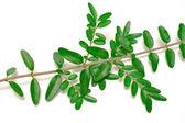 葉の枝 — ストック写真