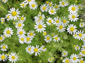 Field of Camomile. Background — Stock Photo