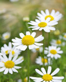 Field of Camomile — Stock Photo