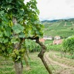 Vineyard in Wachau — Stock Photo