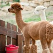 Alpacas in a Garden — Stock Photo