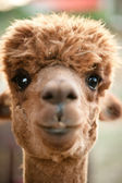 Brown Alpaca — Stock Photo