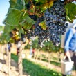 Foto Stock: Working in Vineyard