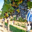 Stock Photo: Working in Vineyard