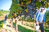 Trabajo en el viñedo — Foto de Stock