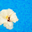 Hibiscus in cool water — Stock Photo