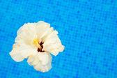 Hibiscus serin su içinde — Stok fotoğraf