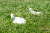 Goats on the green meadow — Stock Photo