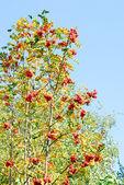 Rowan berry on blue sky background — Stock Photo