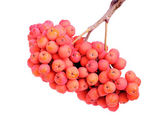 Bunch rowan berry isolated on white background — Stock Photo