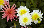 White-yellow dahlias — Stock Photo