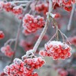 Frosty Ash berries - Stock Photo