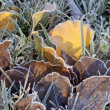 Frosty leaves - Stock Photo