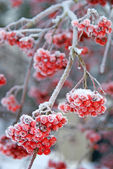 Frosty Ash berries — Stock Photo