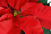 Red Poinsettia — Stock Photo