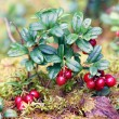 Lingon berries - Stock Photo