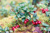 Lingon berries — Stock Photo