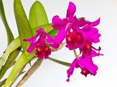 Mor orkide çiçek — Stok fotoğraf
