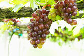 Red grape vine — Stock Photo