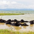 Water Buffalo herds soak water — Stock Photo