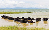 Water Buffalo herds soak water — Stok fotoğraf