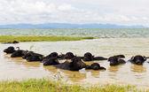 Water Buffalo herds soak water — Stock Photo
