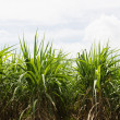 Sugar cane field — Foto de Stock