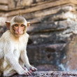 Portrait of young rhesus macaque monkey — Stock Photo