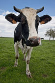 Close up of a cow — Stock Photo
