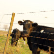 Cows behind the fence — Stock Photo