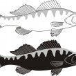 Fish - Zander — Stock Vector