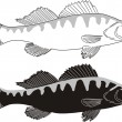 Fish - Zander - Stock Vector