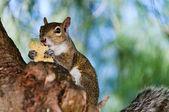 Grey Squirrel Closeup — Stock Photo