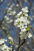 Kirschblüte nah — Stock Photo
