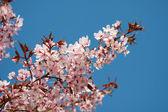 Nahe Kirschblüte — Stock Photo