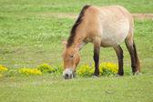 Grasendes Wildpferd — ストック写真
