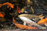 Koi fish — Stock Photo