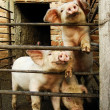Three young cute pigs behind metal fence and shed - Stock Photo