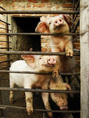 Three young cute pigs behind metal fence and shed — Stock Photo