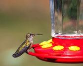 Hummingbird on a Feeder — Stock Photo