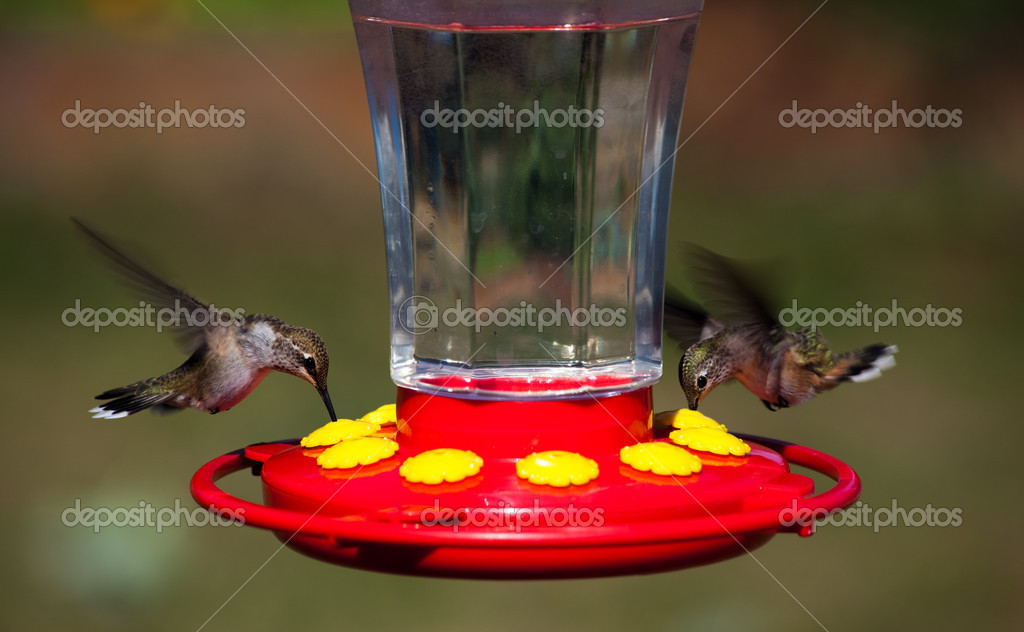 Two super fast Rufous hummingbirds hover over a feeder with their long bills in the flowers to extract sugar water for energy. — Stock Photo #6869090