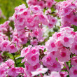 Pink Phlox — Stock Photo #7556553