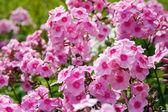 Pink Phlox — Stock Photo