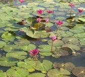 Estanque silvestre con lotos — Foto de Stock