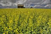 Canola Crop Canada — Stock Photo