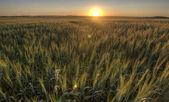 Prairie Grass Crop Sunset — Stock Photo