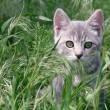 Grey Tabby Stalking Through Grass — Stock Photo #6812484